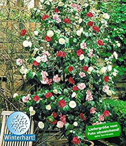 baldur garten winterharte garten kamelie 39 tricolor 39 1 pflanze camellia japonica japanische. Black Bedroom Furniture Sets. Home Design Ideas
