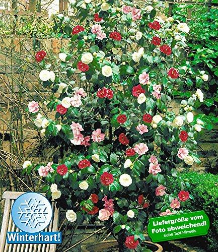 baldur-garten-winterharte-garten-kamelie-tricolor-1-pflanze-camellia-japonica