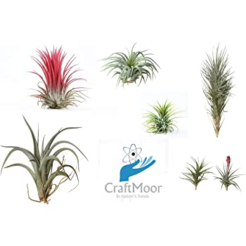 4X Different Tillandsia Air Plant Mix   Air Plants Perfect Plants For,  Indoor Plants,