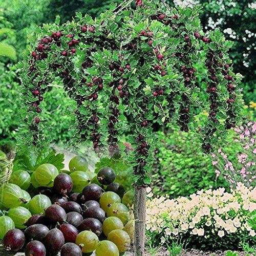 3 er Set Stachelbeer-Stamm, bestehend aus den Sorten Hinnonmäcki rot, Hinnonmäcki gelb, Invicta grün