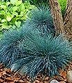BALDUR-Garten Ziergras 'Elijah Blue' Blauschwingel, 3 Pflanzen Festuca glauca von Baldur-Garten - Du und dein Garten