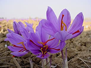 CAPPL Kashmiri Saffron Flower Bulbs (Pack of 5)