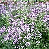 Semi Piante aromatiche blu incenso senape fiori per il giardino domestico di piante in vaso semi 20 particelle / bag