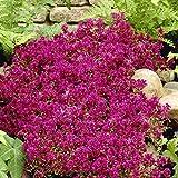 Grüner Garten Shop Teppichthymian, Thymus praecox od. serpyllum coc. rot blühend, 4 Pflanzen im Set je im kleinen Topf
