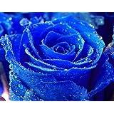 Rosa azul - 20 semillas
