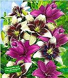 BALDUR-Garten Winterhart Lilien-Mix 'Tango & Lilac', 5 Zwiebeln Lilium