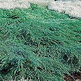 9cm Pot Dwarf Conifer Blue Carpet Juniperus Squamata Ground Cover Garden Shrub