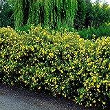 Fingerstrauch - 50 heckenpflanzen