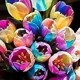 Semillas de tulipanes de colores arco iris - semillas de flores de jardín, bonsái, decoración del hogar y la oficina
