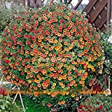 Portal Cool Impiccagione annuale di semi di Petunia Red Calibrachoa Red, Golden Ornamenta 200 Seeds