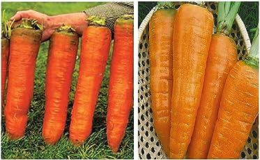 20x Riesen F1 Russische Karotten Möhren Samen Gemüse Garten #278