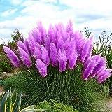 Brightup 100 Pièces Pampas herbe Graines Roseau Graines---Violet
