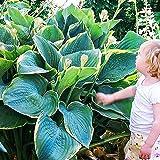 Hosta Planta decorativa Plantas bulbos Plantas de jardin Bulbos de flores baratos 1x Rizoma Hosta gigante Minke