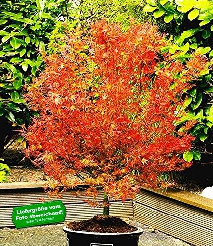 BALDUR-Garten Japanischer Ahorn 'Katsura', 1 Pflanze Acer palmatum