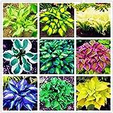 100 semillas de Hosta Plantaginea / sombra de hielo de fuego, semillas de flores de jardín, bonsái, decoración del hogar y la