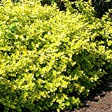 Euonymus fortunei Emerald n Gold - 4 sträucher