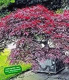 BALDUR-Garten Japanischer Ahorn 'Burgund', 1 Pflanze Acer palmatum