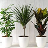 Evergreen Indoor House Plants Collection Clean Air Purifying Scandi Lifestyle Real Plants with Unique Foliage & Eye…