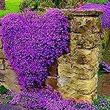 Yukio Samenhhaus - 100 Korn Kletterpflanzen Saatgut Rankende Gärten Blumensamen winterhart mehrjährig für Stein, Wand, Fenster, Terasse, Balkon (1)