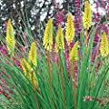 lichtnelke - Fackellilie (Kniphofia uvaria) PINEAPPLE POPSICLE Tb9 von Lichtnelke Pflanzenversand bei Du und dein Garten