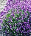 BALDUR-Garten Blauer Lavendel Lavandula, 3 Pflanzen von Baldur-Garten - Du und dein Garten
