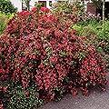 Weigelie Bristol Ruby - 1 strauch von Meingartenshop bei Du und dein Garten