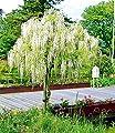 """Weißes Blauregen-Stämmchen """"Alba"""",1 Pflanze von Baldur-Garten - Du und dein Garten"""