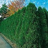 Thuja Smaragd Occidentalis - Lebensbaum winterhart & pflegeleicht - Thujen-Hecke als Sichtschutz - Heckenpflanze 80-100 cm - 1 Pflanze im Container von Garten Schlüter - Pflanzen in Top Qualität