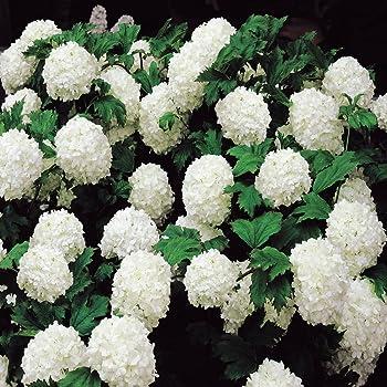 Gemeiner Schneeball 1 Strauch Amazonde Garten