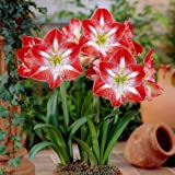 Amaryllis Lily Flower Sow and Grow Fresh Healthy Bulbs in Your Garden by Kraft Seeds (Set of 3)