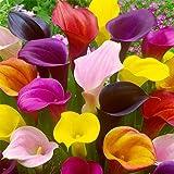 BULBOS DE FLORES para una floración de primavera/verano/otoño (5, CALLE EN MEZCLA - Zantedeschia MIX)