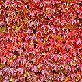 Dominik Blumen und Pflanzen, 350103 Kletterpflanzen, Wilder Zierwein 3 Pflanzen, 30 x 15 x 10 cm, rot/grün von Amazon.de Pflanzenservice bei Du und dein Garten