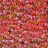 Dominik Blumen und Pflanzen, 350103 Kletterpflanzen, Wilder Zierwein 3 Pflanzen, 30 x 15 x 10 cm, rot/grün