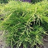Juniperus chinensis var.Kuriwao gold - Enebro de la China