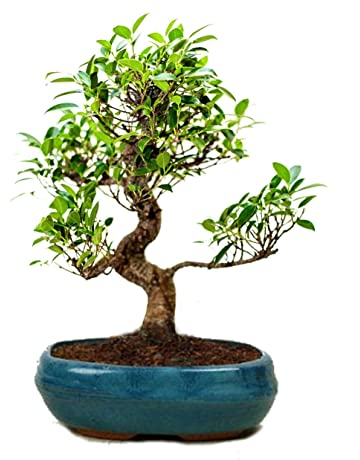 Bonsai Plants Buy Bonsai Plants Online At Best Prices In