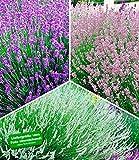 BALDUR-Garten Winterharte Stauden Lavendel-Sortiment blau, rosa, weiß, Duftlavendel, 9 Pflanzen Lavandula echter Lavendel
