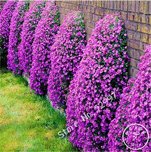 Semi impatiens balsamina white garden balsam perenne fiore, pacchetto originale, 20 semi / pacchetto, giardino jewelweed rose balsam
