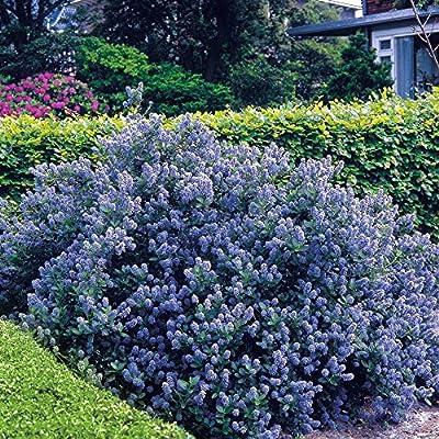 Ceanothus Yankee Point von Meingartenshop - Du und dein Garten
