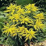Echte Goldrute - 3 pflanzen