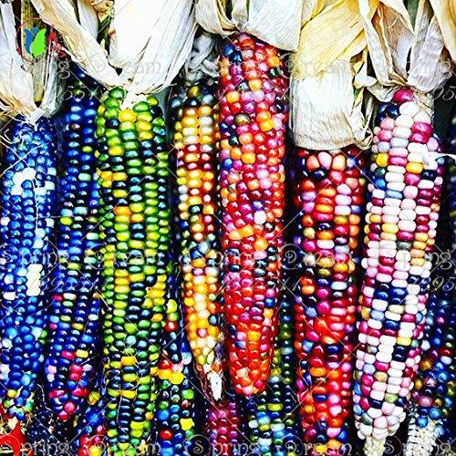 20 süßer Regenbogen Maissamen, buntes Gemüsesaatgut Maiskorn-Getreide, 95% + Keimung, hochwertiges Pflanzen für Hausgarten