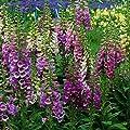 Fingerhut ( Digitalis purpurea EXCELSIOR HYBRIDS ) von Lichtnelke Pflanzenversand auf Du und dein Garten