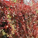 Parthenocissus veitchii/Vigne Vierge du Japon - 1 plante