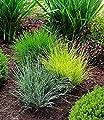 BALDUR-Garten Gräser-Trio 3 Pflanzen Ziergräser Festuca glauca Elijah Blue, Festuca gautieri, Festuca Golden Taipee von Baldur-Garten auf Du und dein Garten