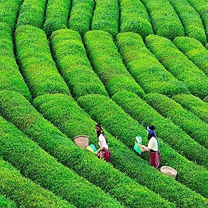 Gesundheits-Jasmin-Blumen-Tee-erstklassiger-Jasmin-Perlen-duftender-Tee-100g-022LB-China-Kostengnstiger-grner-Tee-Heie-Verkufe-chinesischer-Tee