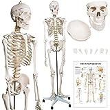 Jago® Modèle Anatomique du Squelette Humain - 181,5 cm, Grandeur Nature, sur Roulettes, Graphique d'Enseignement, Crâne Ouvra
