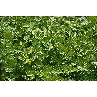 Parsley Italian Giant Flat - 1600 Finest Seeds (Organic)