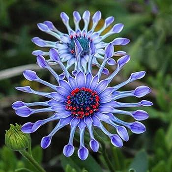 Keland Garten Riesen Prinzess Wiesen Ganseblumchen Selten