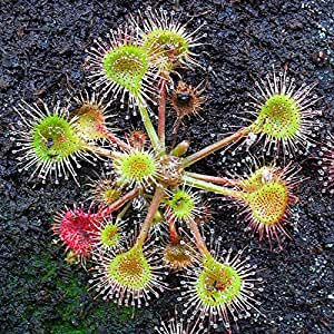drosera rotundifolia plante carnivore 20 graines jardin. Black Bedroom Furniture Sets. Home Design Ideas