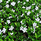 3 X VINCA MINOR 'ALBA' LESSER PERIWINKLE EVERGREEN SHRUB GARDEN PLANT IN POT