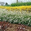 Spirea weißblühend, 2 L Topf, 1 Pflanze von Amazon.de Pflanzenservice - Du und dein Garten